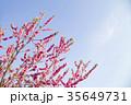 桃 花 春の写真 35649731