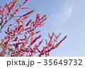 桃 花 春の写真 35649732