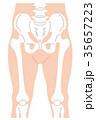 骨盤 大腿骨 膝蓋骨のイラスト 35657223