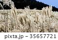 仙石原の秋の風物詩・ススキ原 35657721