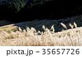 仙石原の秋の風物詩・ススキ原 35657726
