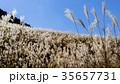 仙石原の秋の風物詩・ススキ原 35657731
