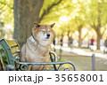 柴犬 犬 秋の写真 35658001