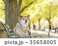 柴犬 犬 秋の写真 35658005