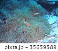 水中 海 クマノミの写真 35659589
