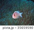 魚 クマノミ ハナビラクマノミの写真 35659590