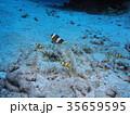 クマノミ 海 水中の写真 35659595