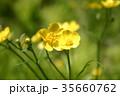 花 黄色 植物の写真 35660762