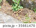 動物 爬虫類 トカゲの写真 35661470