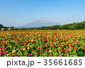 山中湖村 富士山 百日草の写真 35661685