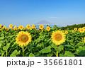 山中湖村 富士山 向日葵の写真 35661801