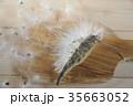 ケセランパセラン ガガイモ 35663052