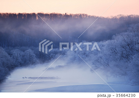 樹氷に包まれたタンチョウのねぐら(北海道・鶴居) 35664230
