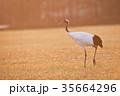 早朝、朝焼けに染まった丹頂鶴(北海道・鶴居) 35664296
