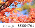 秋 葉 紅葉の写真 35664701