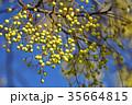 センダン 植物 栴檀の写真 35664815