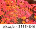 秋 葉 イロハモミジの写真 35664840