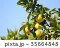柚子 フルーツ 柑橘類の写真 35664848
