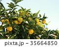 柚子 フルーツ 柑橘類の写真 35664850