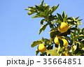 柚子 フルーツ 柑橘類の写真 35664851