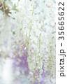 藤 花 植物の写真 35665622