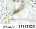 藤 花 植物の写真 35665625