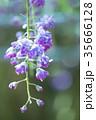 藤 花 植物の写真 35666128