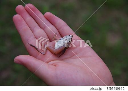 手のひらでひっくり返ったカエル 35666942