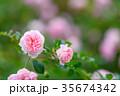 バラ 花 植物の写真 35674342