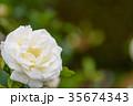 バラ 花 植物の写真 35674343