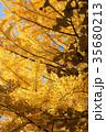 イチョウ 紅葉 35680213