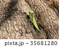 昆虫 カマキリ ハラビロカマキリの写真 35681280