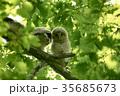 エゾフクロウ フクロウ 幼鳥の写真 35685673