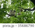 エゾフクロウ フクロウ 野鳥の写真 35686790