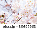 桜 染井吉野 春イメージの写真 35699963