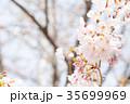 桜 染井吉野 春イメージの写真 35699969