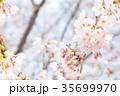 桜 染井吉野 春イメージの写真 35699970