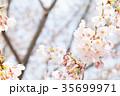 桜 染井吉野 春イメージの写真 35699971