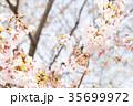 桜 染井吉野 春イメージの写真 35699972