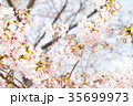桜 染井吉野 春イメージの写真 35699973
