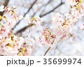 桜 染井吉野 春イメージの写真 35699974