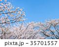 桜と青空 35701557