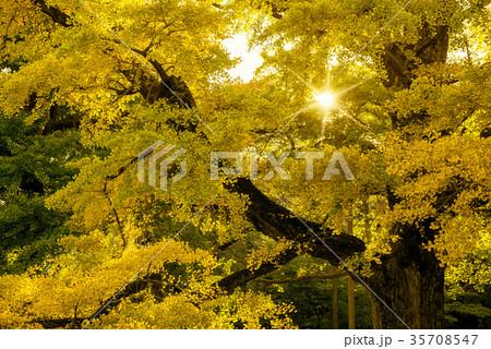 黄葉のイチョウ 35708547