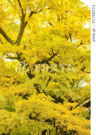 黄葉のイチョウ 35708551