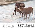 奈良公園 11月 鹿の写真 35713048