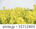 菜の花 菜の花畑 花の写真 35713803