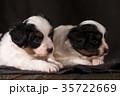 パピヨン 子犬 ペットの写真 35722669