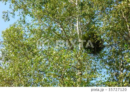 白樺に寄生するヤドリギ 35727120