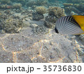 Underwater world of the Red Sea in Egypt 35736830