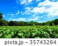 新座市総合運動公園の本多の森お花畑のヒマワリ 35743264